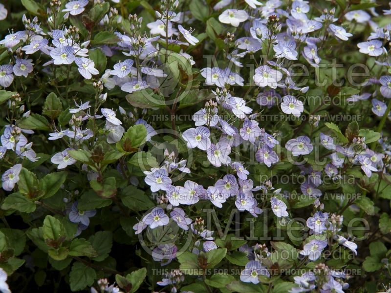 Veronica Waterperry Blue (Speedwell) 1