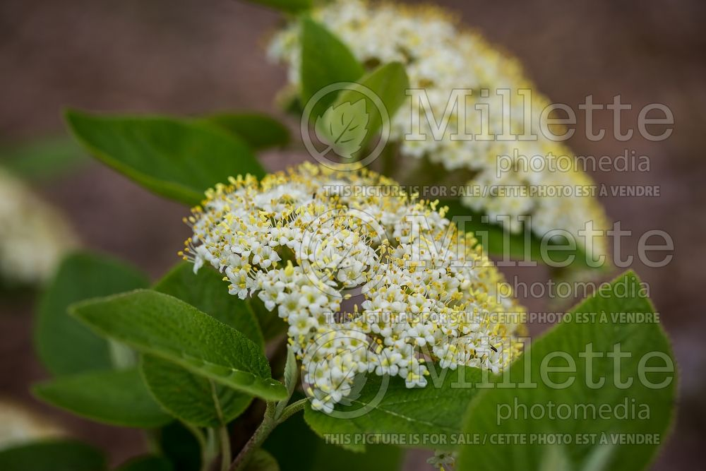 Viburnum lantana (common wayfaring tree cotton tree - viorne) 4