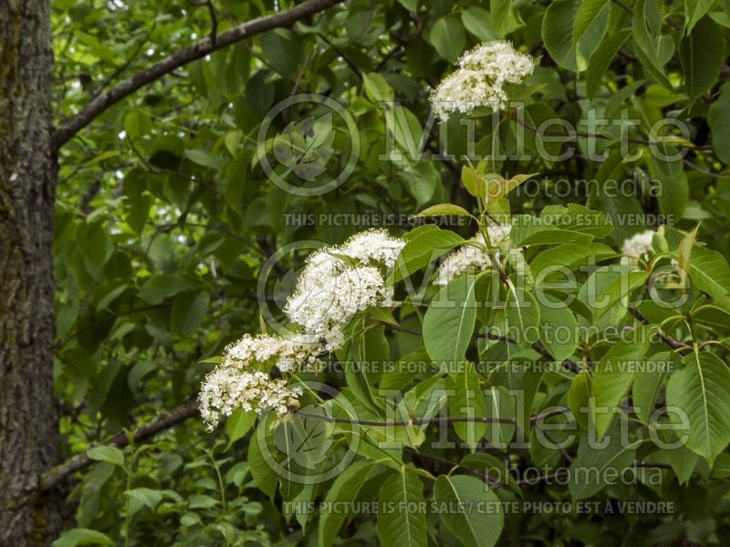 Viburnum lentago (Nannyberry, Sheepberry, or Sweet Viburnum) 6