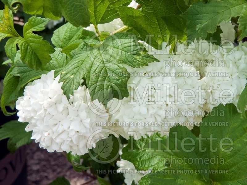 Viburnum Roseum (European Cranberry Bush Eastern Snowball) 1