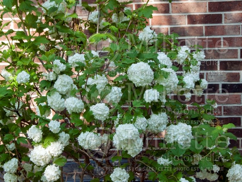 Viburnum Roseum (European Cranberry Bush Eastern Snowball) 2
