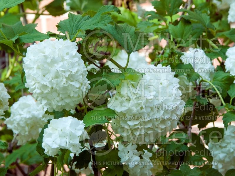Viburnum Roseum (European Cranberry Bush Eastern Snowball) 4