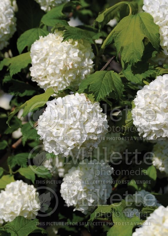 Viburnum Roseum or Sterile (European Cranberry Bush Eastern Snowball) 9