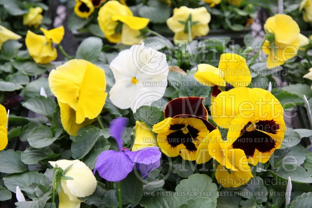 Viola Atlas Citron Mix (Violet pansy) 1
