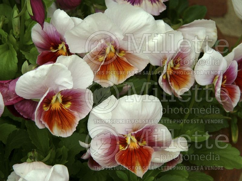 Viola Sorbet Antique Shades (Canadian white violet) 1