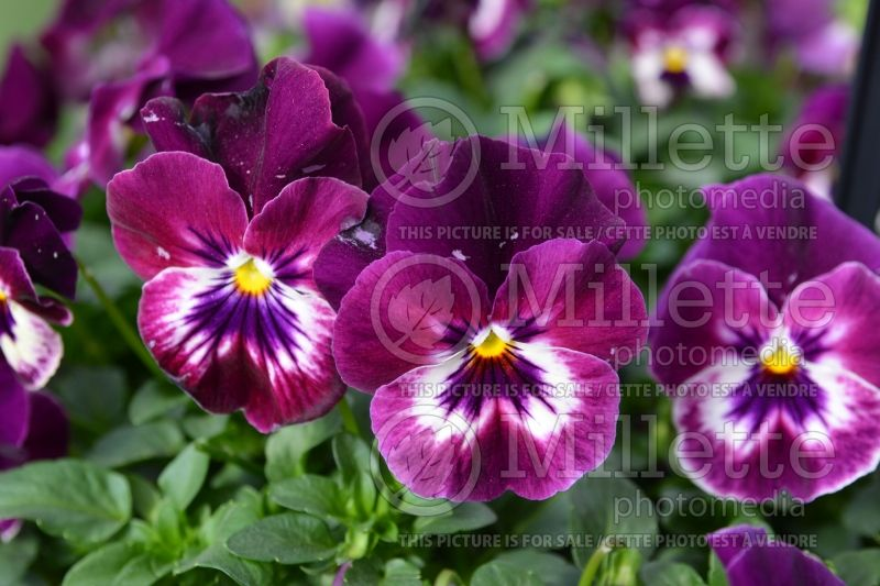 Viola Cool Wave Raspberry (violet pansy) 1