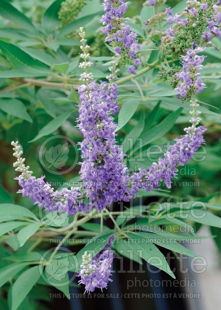 Vitex Shoal Creek (chaste tree) 3