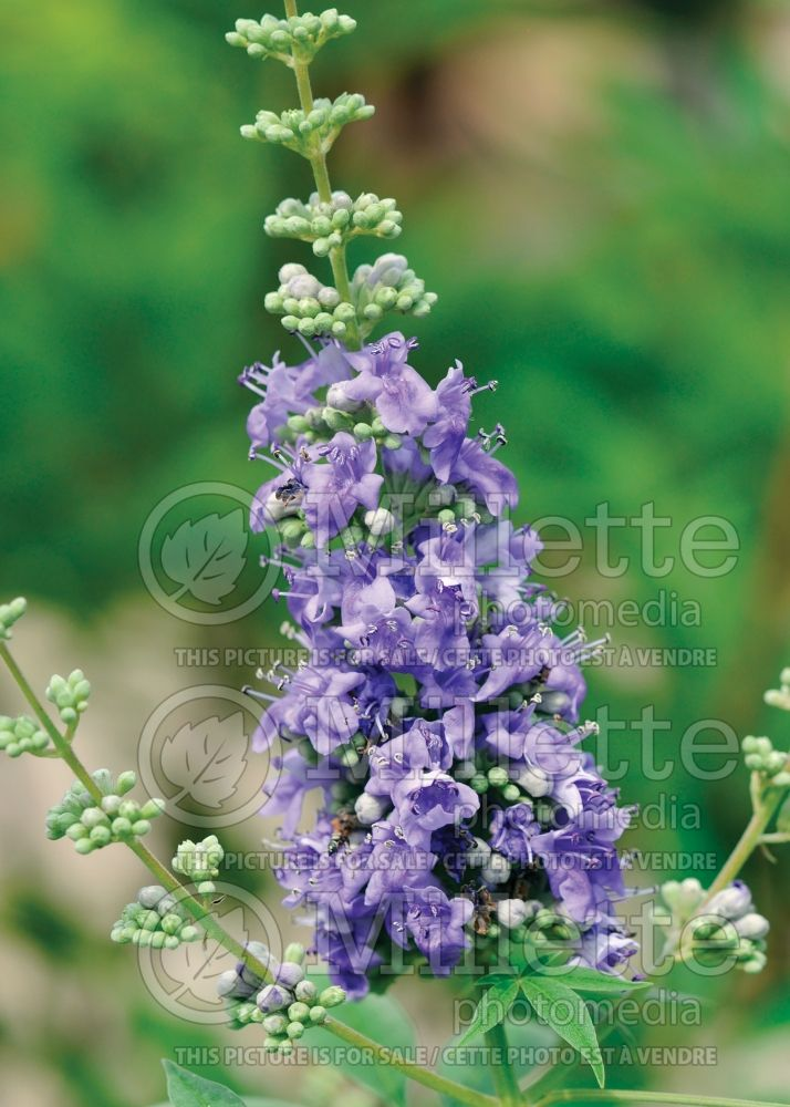 Vitex Shoal Creek (chaste tree) 4