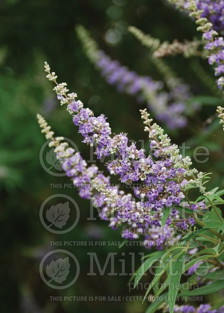 Vitex Shoal Creek (chaste tree) 1