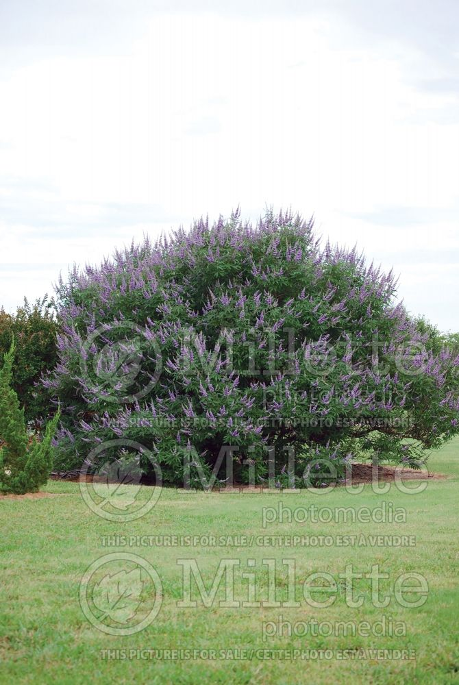 Vitex Shoal Creek (chaste tree) 2