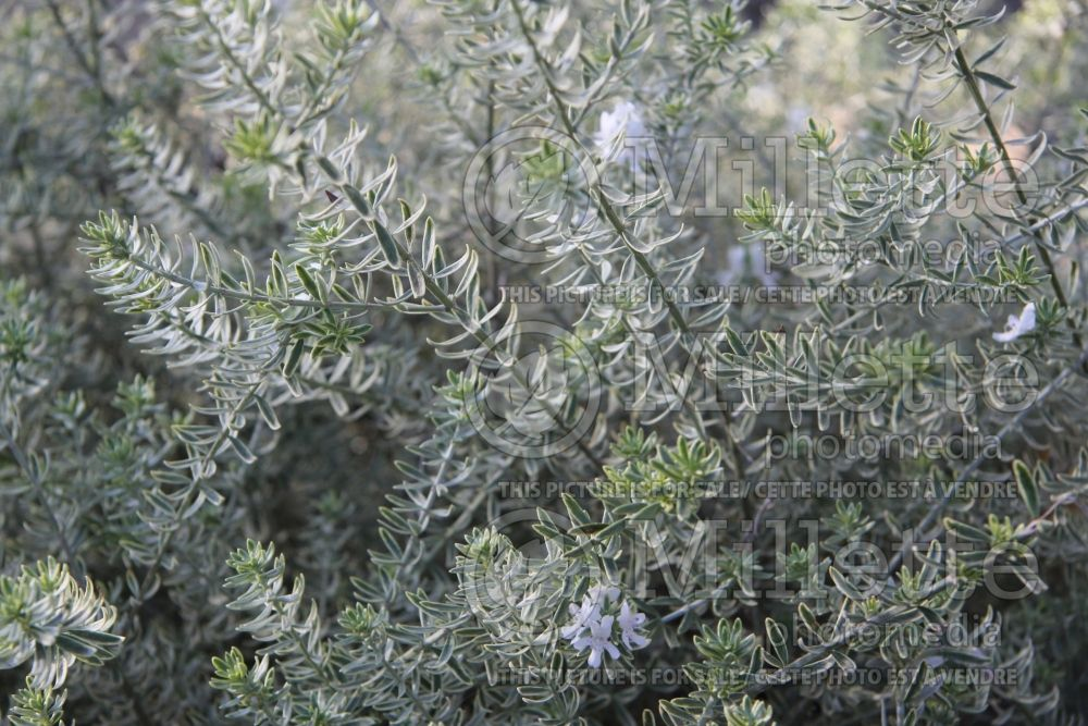 Westringia Smokey (Coast Rosemary) 1