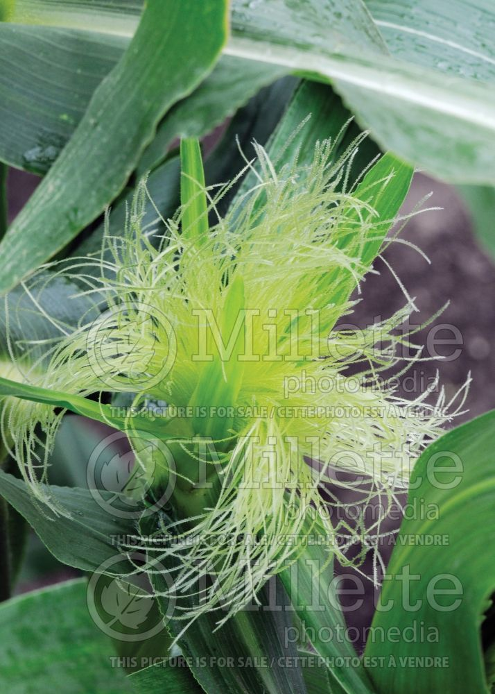 Zea mays  (Indian corn or maize vegetable - mais) 7