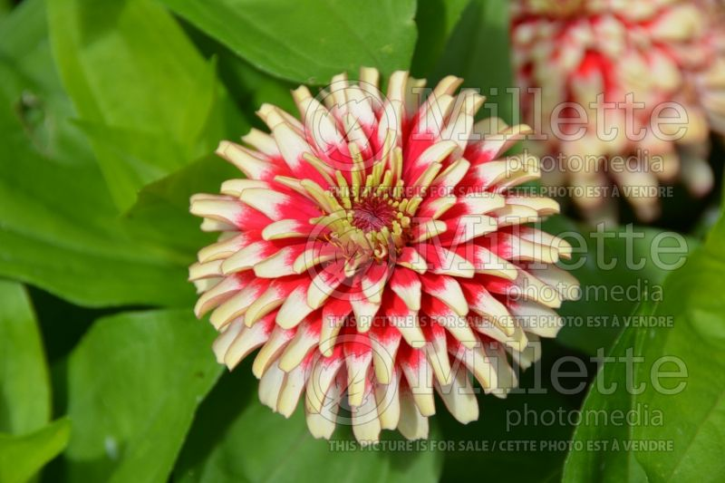 Zinnia Swizzle Cherry and Ivory (Zinnia) 1