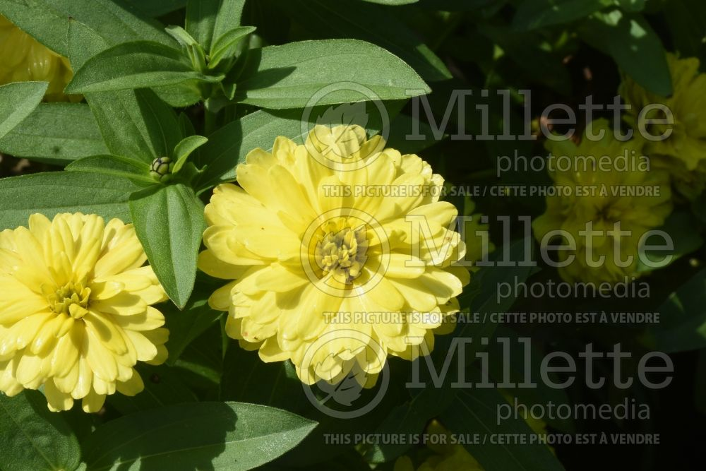 Zinnia Double Zahara Yellow (Zinnia) 1