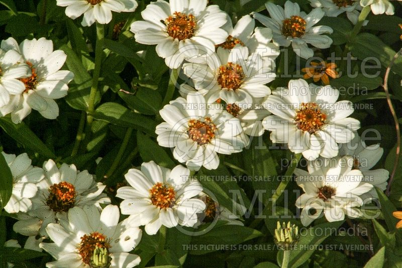 Zinnia Profusion Knee High White (Zinnia) 1